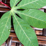 Tapioca Leaf. Close-up view of a partial tapioca leaf on rattan background Stock Image
