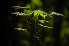 Tapioca leaf stock photo