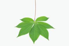 Tapioca leaf on white background Royalty Free Stock Image