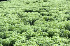 Tapioca Plantation Royalty Free Stock Photos