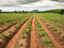 Tapioca plantation in Thailand Stock Image