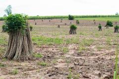 Tapioca Plants Cassava. Stock Images