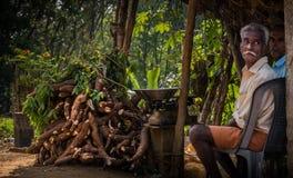 Tapioca harvesting in kerala royalty free stock image