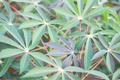 Tapiok lub kasawy pole, Tropikalna karmowa ro?lina zdjęcie stock