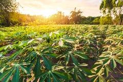 Tapioki uprawiają ziemię, gruli gospodarstwo rolne, tapioki plantacja, rolnictwa tło zdjęcia royalty free