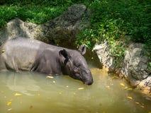 Tapir που κυλά στη λίμνη στοκ εικόνα