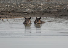 Tapir που παίρνει ένα λουτρό σε Corcovado Στοκ φωτογραφία με δικαίωμα ελεύθερης χρήσης