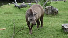 tapir Lizenzfreie Stockfotos