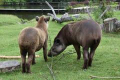 tapir Royalty-vrije Stock Afbeeldingen