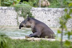 Tapir. In water Royalty Free Stock Images