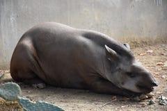 tapir Στοκ εικόνα με δικαίωμα ελεύθερης χρήσης