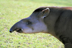 Tapir Fotografia Stock Libera da Diritti