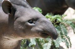 Tapir Royalty-vrije Stock Foto's