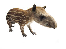 Tapir. Under the white background. Focus is under it's eye royalty free stock images