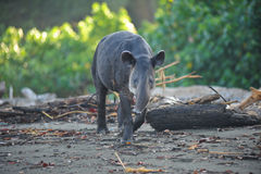 Tapir. Spotted inside Corcovado National Park in Costa Rica stock images