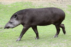 Tapir. The south american tapir (Tapirus terrestris) on the grass Royalty Free Stock Photography