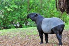 Tapir Stock Photos