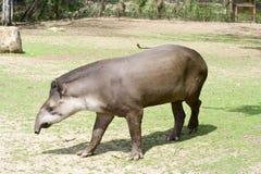 Tapir Immagine Stock