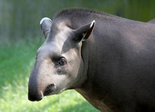 Tapir. Looking thoughtful at the camera stock images