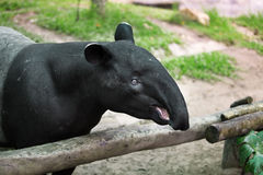 Tapir Royalty Free Stock Image