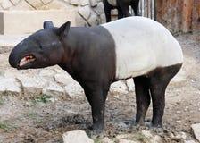 Tapir Foto de Stock