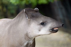 Tapir. A head of a tapir Royalty Free Stock Photo