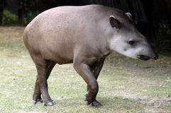 Tapir. A walking tapir - whole body Royalty Free Stock Image