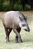 Tapir Photos stock
