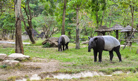 Tapir Fotografia Stock