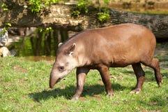 Tapir Zdjęcie Stock