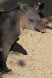 Tapir Fotografía de archivo