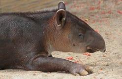 Tapir Foto de archivo libre de regalías