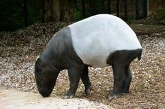 tapir Stock Afbeelding
