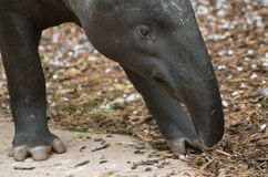 tapir Photographie stock