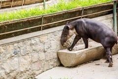tapir Стоковая Фотография RF