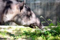 tapir Fotografering för Bildbyråer