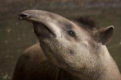 tapir Imagens de Stock