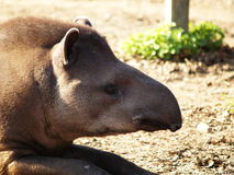 tapir foto de stock royalty free
