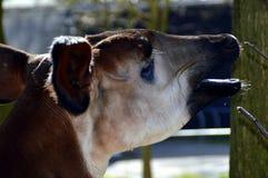 tapir Arkivfoto