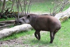 tapir Royaltyfri Foto