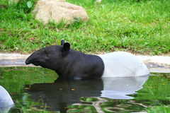 tapir Fotos de Stock Royalty Free