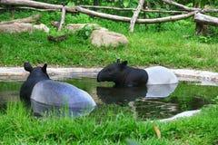tapir Royaltyfria Bilder