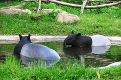 tapir Стоковые Фото