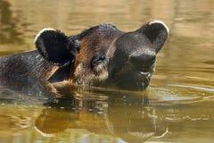 tapir Obrazy Stock