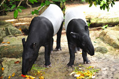 Tapir. The tapir is a large browsing mammal looking like a pig and inhabit jungle and forests in south america and southeast asia stock image