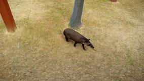 tapir Lizenzfreie Stockbilder