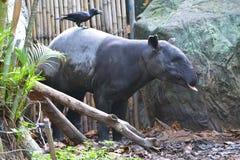 tapir Immagini Stock