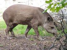 tapir Images libres de droits