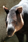 Tapir. Fuzzy Furry Tapir At The Zoo stock image
