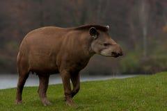 Tapir americano imagenes de archivo